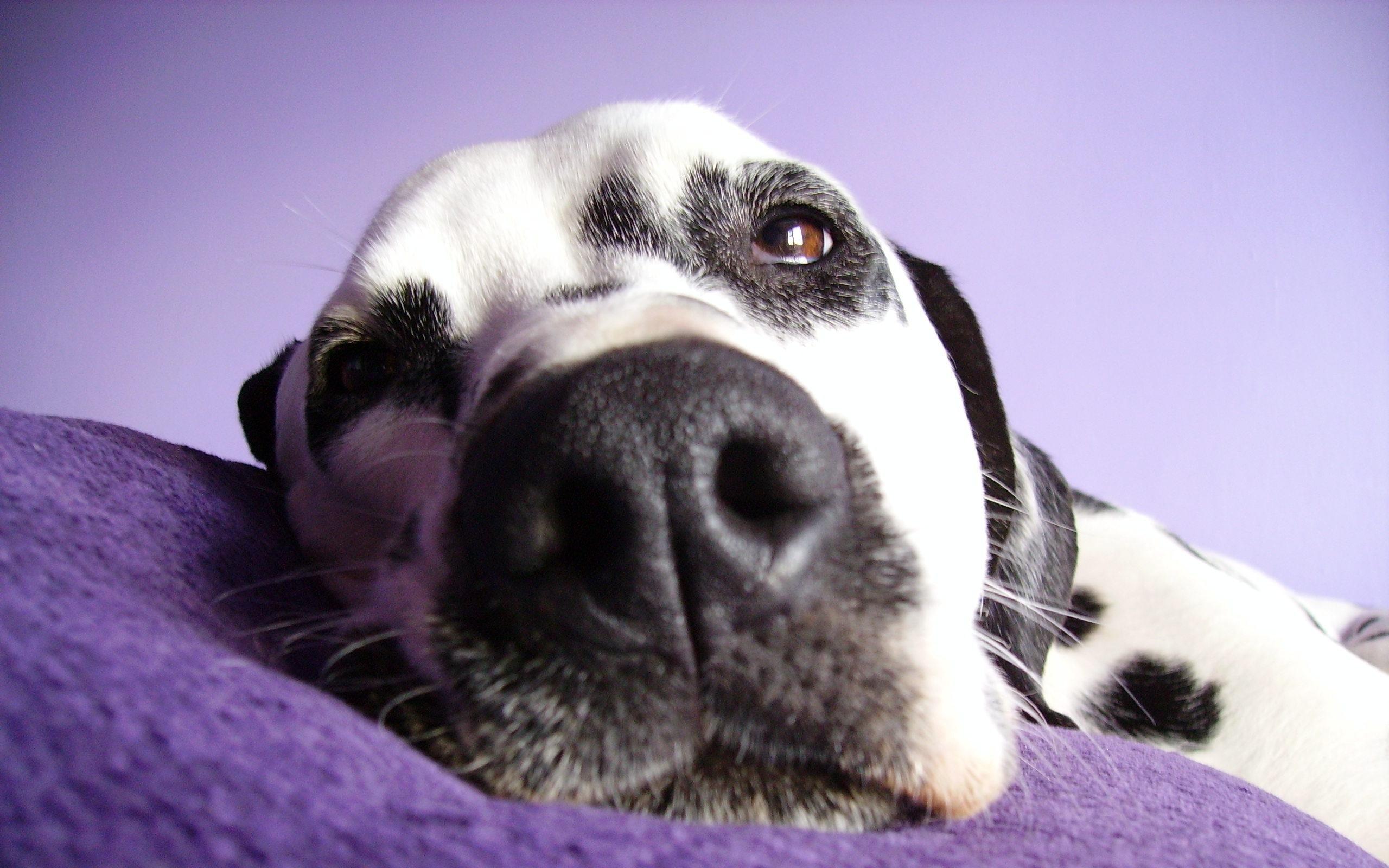 Cute Puppies Full Hd Wallpapers 22 Hd Dalmatian Dog Wallpapers Hdwallsource Com