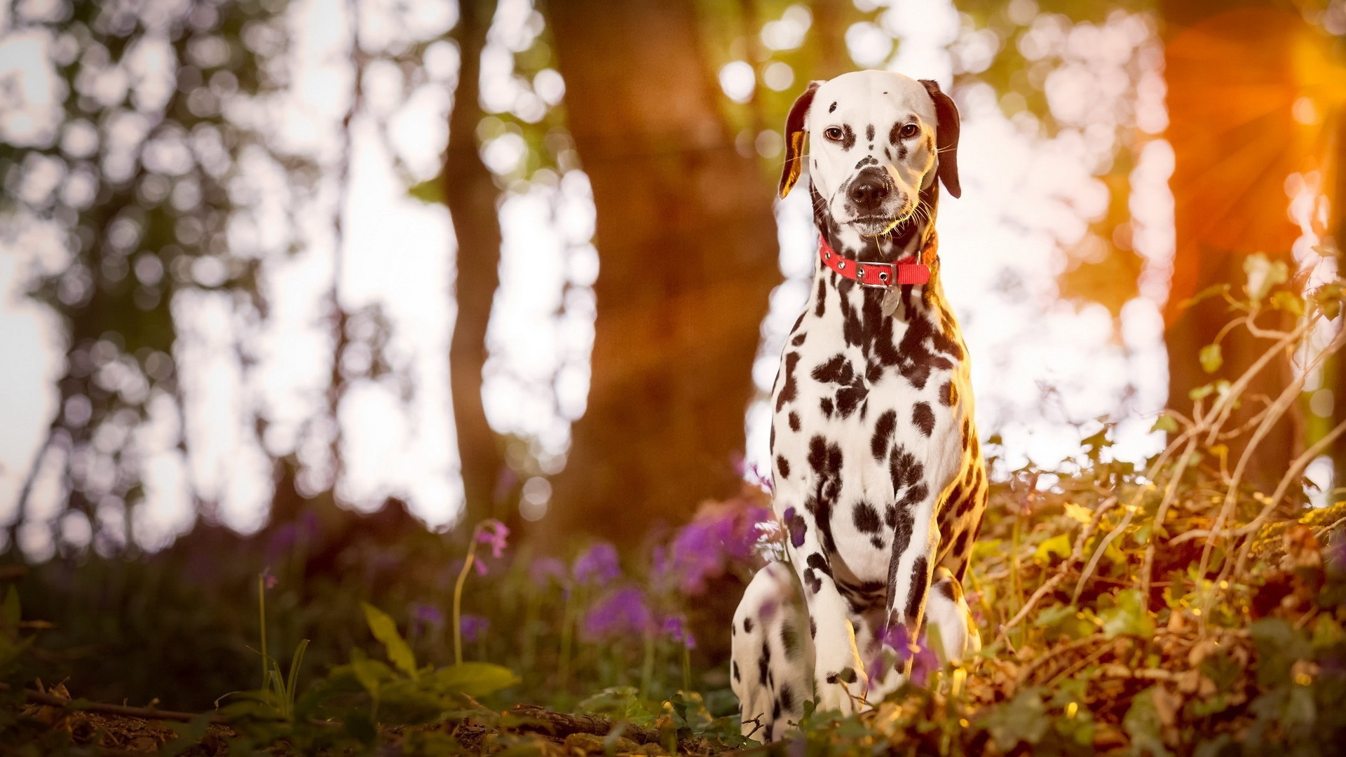 Daffodils Wallpaper Hd Dalmatian Dog Wallpapers Archives Hdwallsource Com
