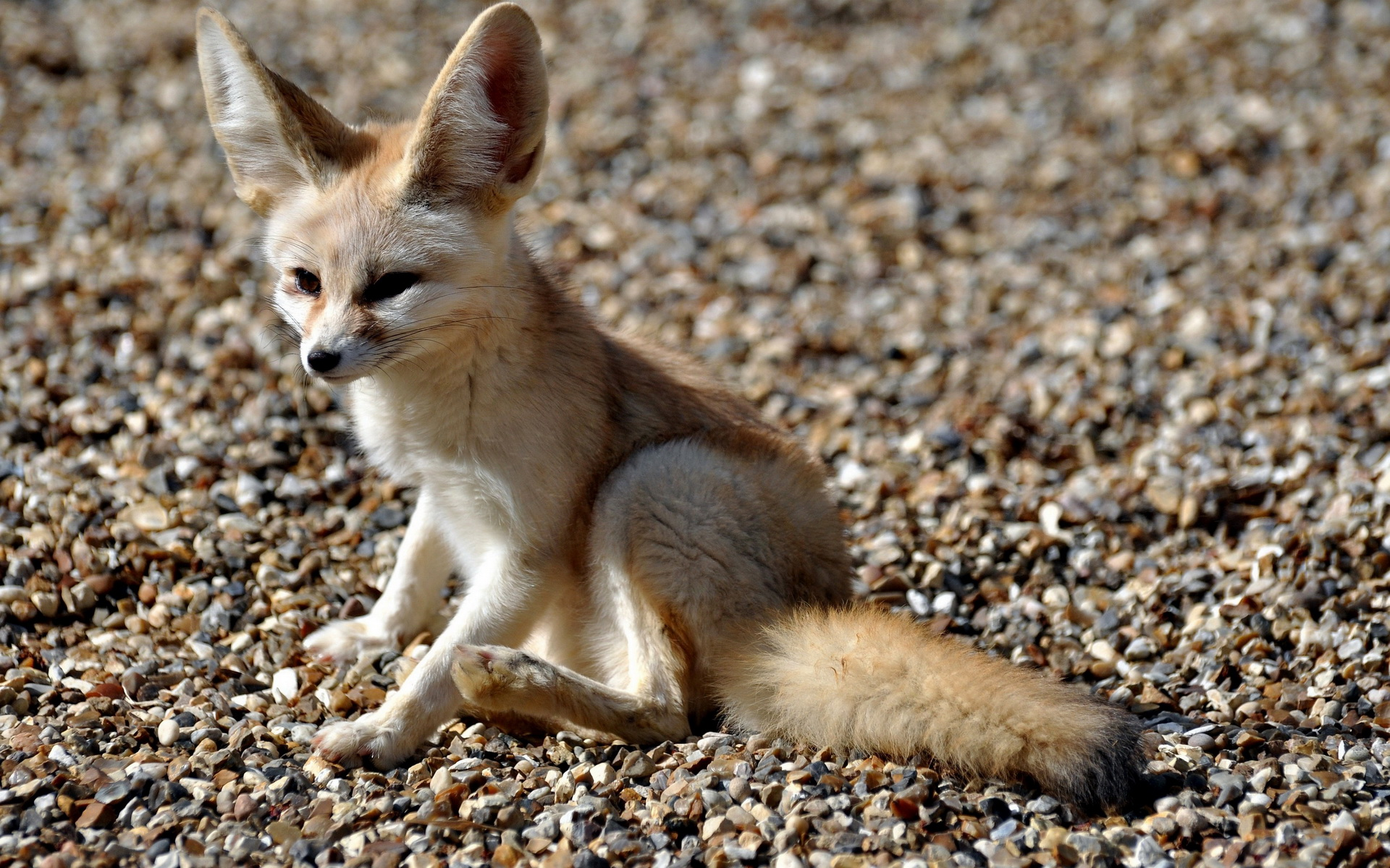 Cute Baby Hd Wallpaper For Laptop 13 Excellent Hd Fennec Fox Wallpapers
