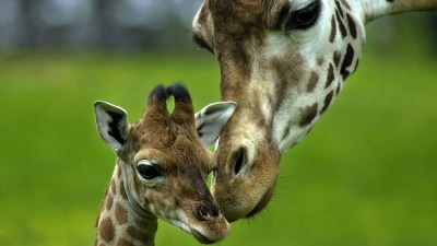 20 Wonderful HD Giraffe Wallpapers