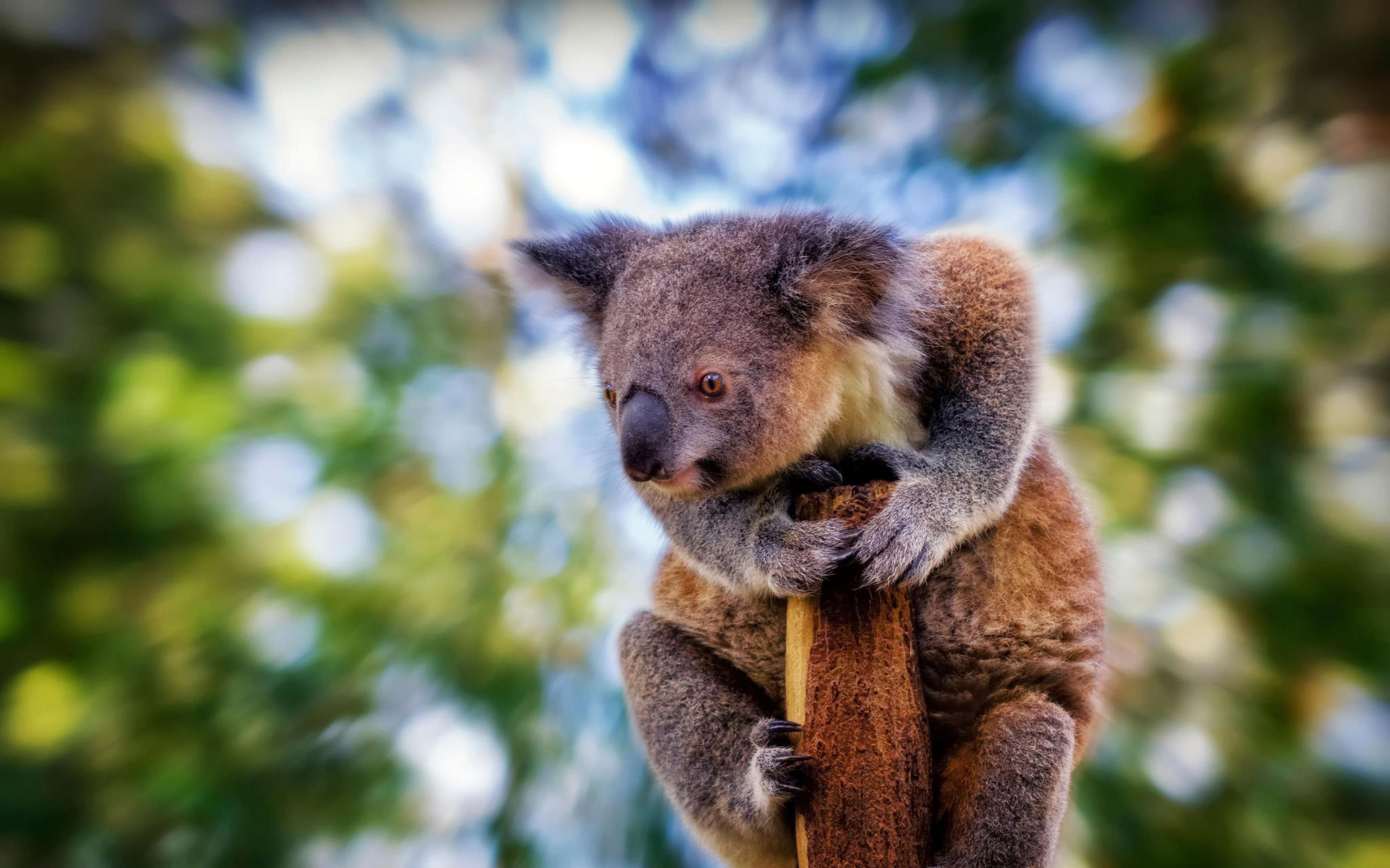 Animal Wallpaper Desktop Background 16 Wonderful Hd Koala Wallpapers
