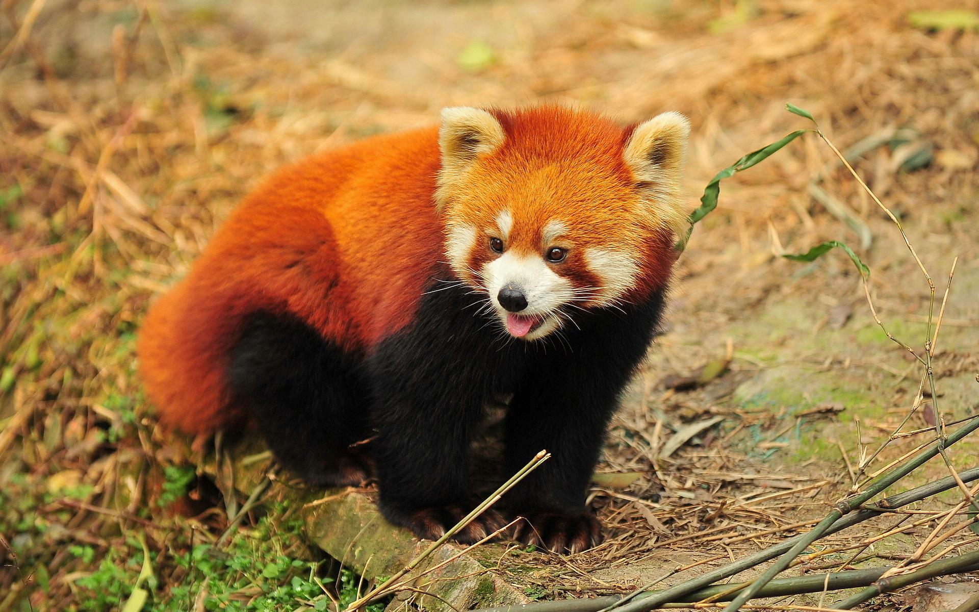 Cute Animated Wallpapers Hd 28 Wonderful Hd Red Panda Wallpapers