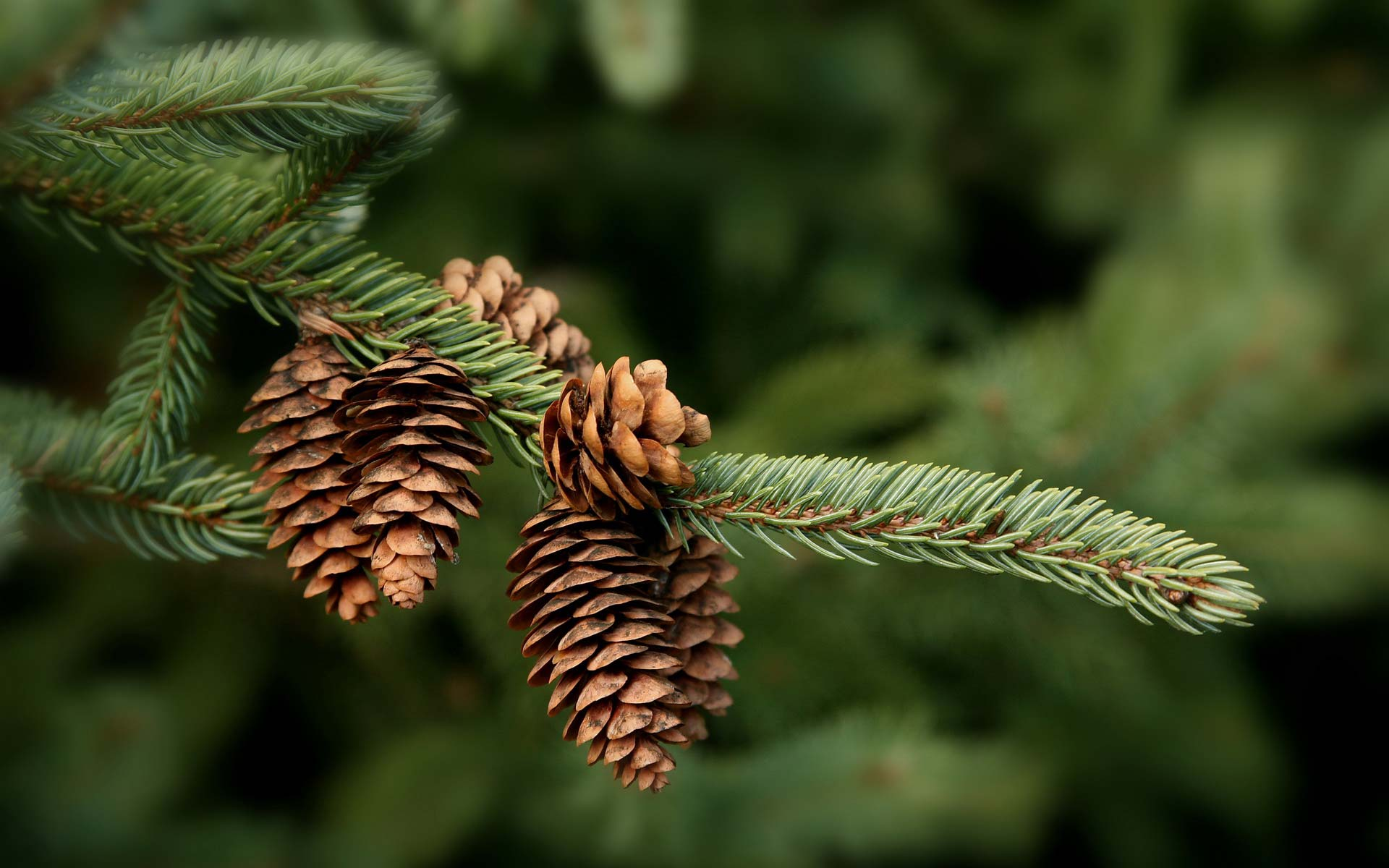 Beautiful Animated Wallpapers For Desktop 13 Wonderful Hd Pine Cone Wallpapers