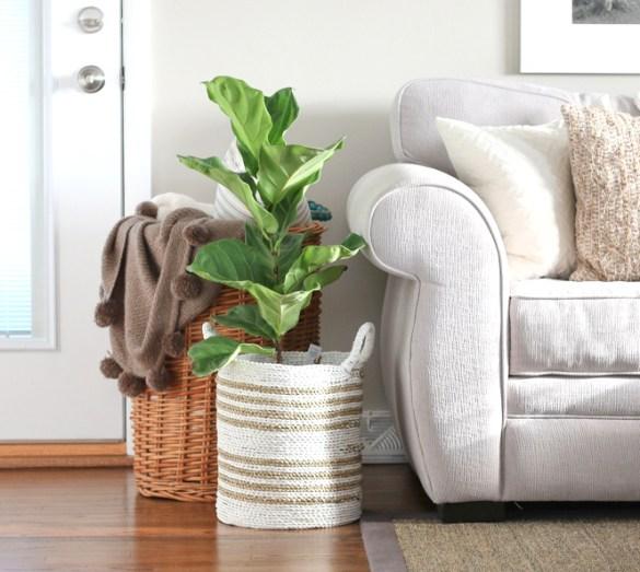 fiddle_leaf_family_room_plant