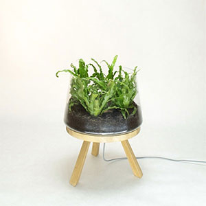 Planta Small Brokis
