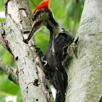 Pileated Punk