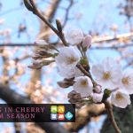 Traveling inCherry Blossom Season (1)
