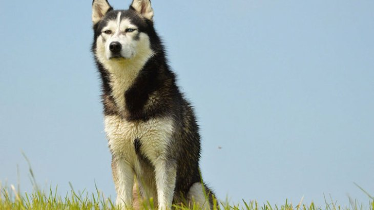 husky-dog-breed-singapore