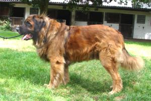 Hund-Hanf-elvis