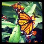 Papillons en liberté 2012 | Jardin botanique de Montréal