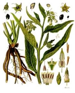 Comfrey botanical slide