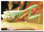 South African Praying Mantis(