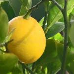 Wally Richards - Feijoa & citrus: fruit perfection