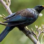 Wally Richards: attracting Tui to your garden