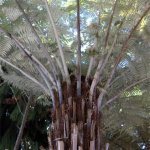 cyathea_dealbata_small_09