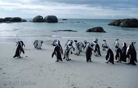 Jackass Penguins at the beach, South Africa / (Spheniscus demersus) / Brillenpinguine am Strand, Suedafrika / [Tiere, animals, Vogel, Voegel, birds