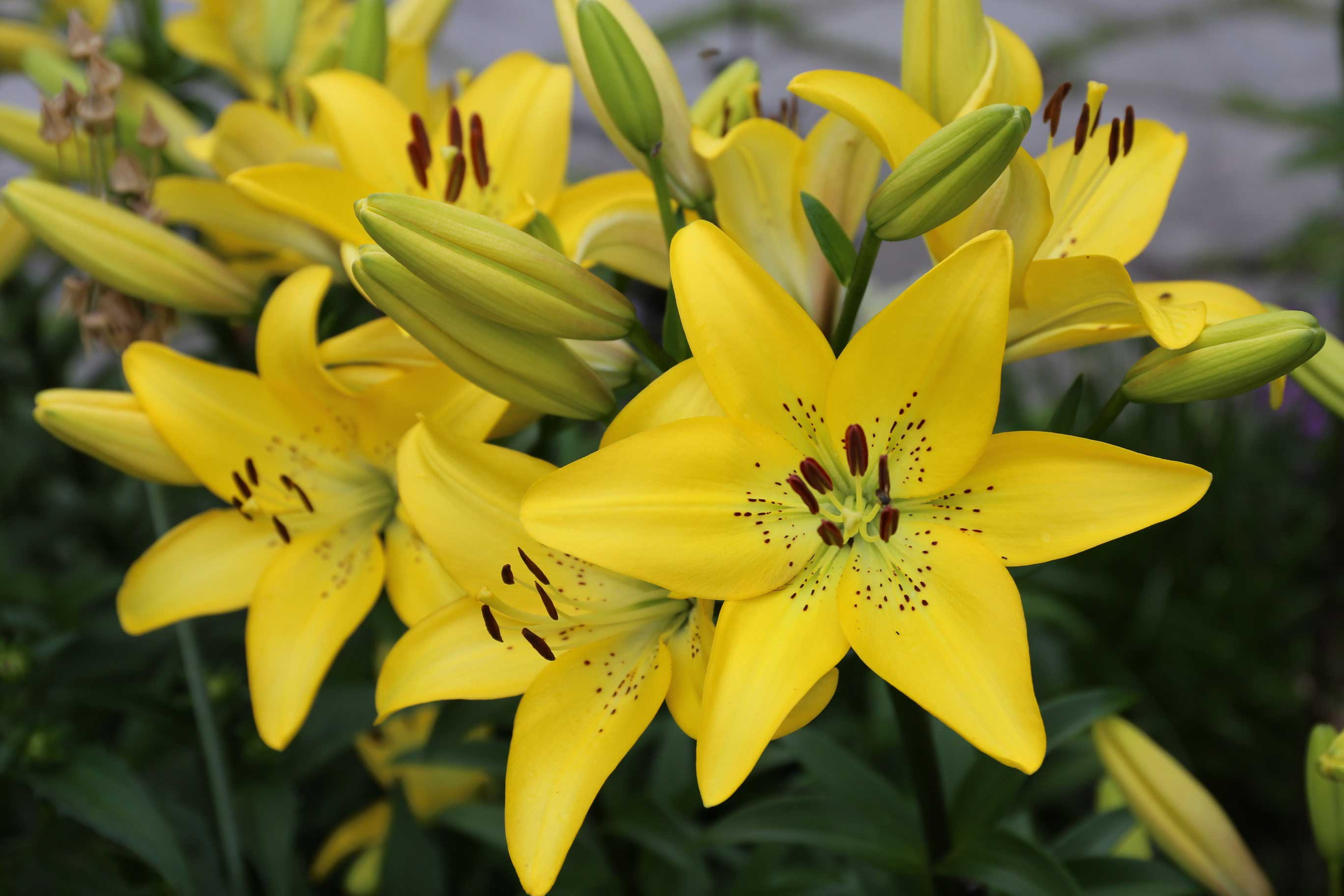 Types Of Lilies Asiatics Orientals Trumpets And More Longfield Gardens