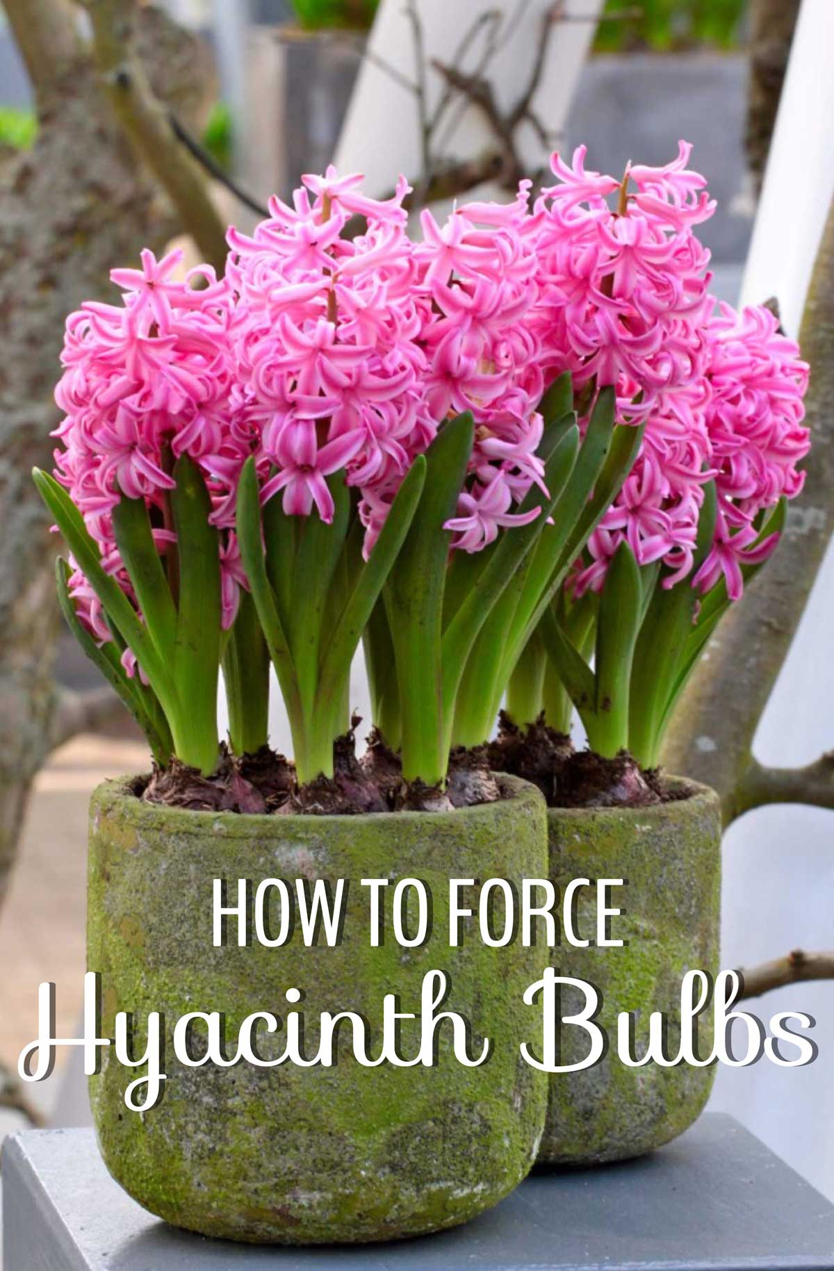 Beautiful Indoor Flowers How To Force Hyacinth Bulbs For Indoor Flowers Longfield