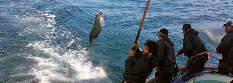 Maldivian fishermen catching Alabcore off the Pacific Coast of USA