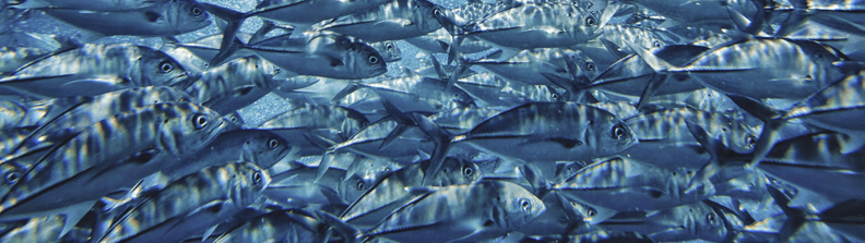 Image of tuna shoal underwater