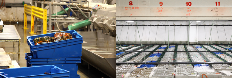 Left: lobsters sit in a crate after being sorted by size. Right: crates of lobster it in water baths awaiting shipping