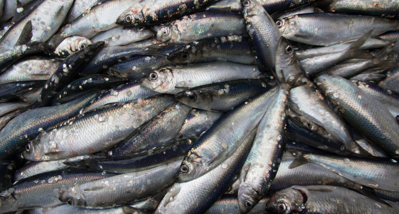 Pile of herring fish