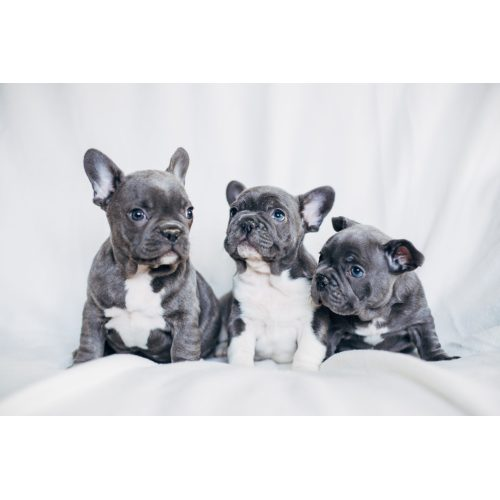 Medium Crop Of Do French Bulldogs Shed