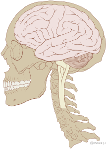 429px-skull_and_brain_normal_humansvg
