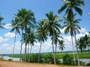 the-coconut-tree