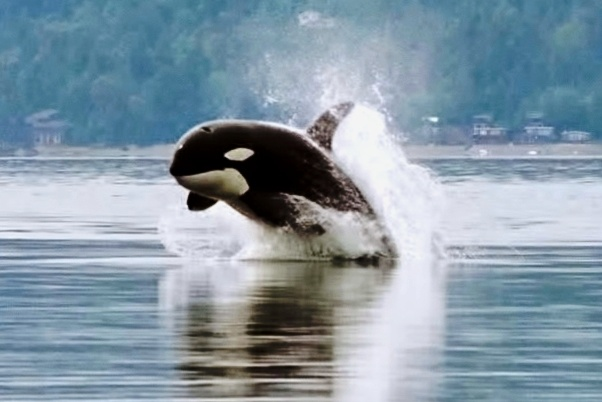 Anime Killer Girl Wallpaper The Latest Dirty Coal Threat To Endangered Orcas The