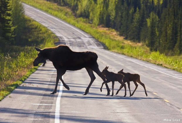 Fall Animal Crossing Wallpaper Photo Of The Day Moose Crossing The National Wildlife