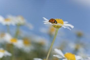 Ladybug on daisy, beautiful summer photo