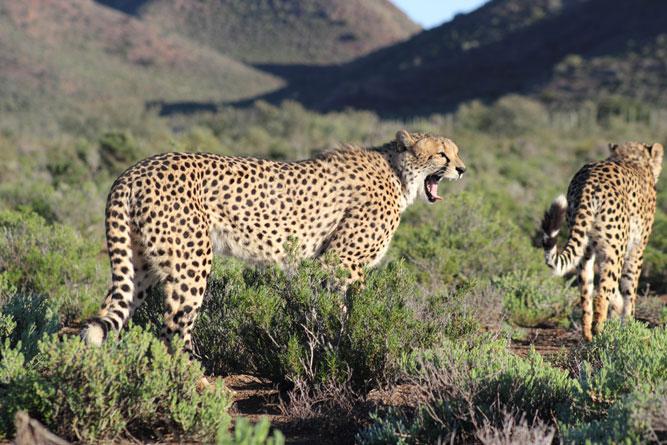 Cheeta pair at Sanbona