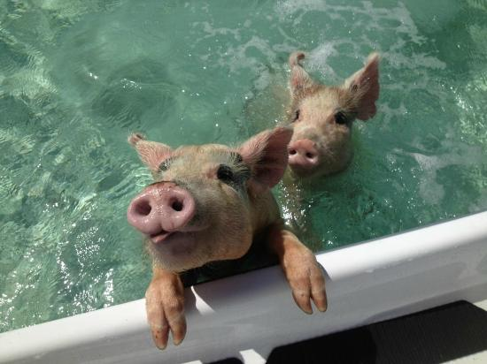 exuma swimming pigs
