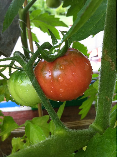 Les tomates... Y'en a une qui rougit au fond laaaaaaa !!!