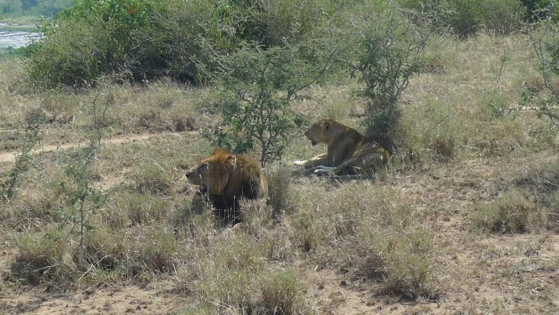 こちらは夫婦、見てわかる通りほんと目の前にいます野生のライオンが