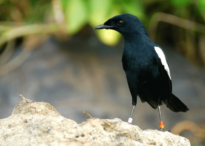 Robinson Crusoe Island, the most easterly and isolated of the granitic islands, is home to the almost extinct magpie robin and many other bird species