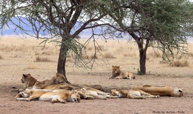 serengeti-national-park-lions