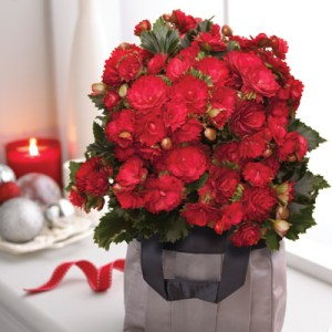Christmas gifts - Begonia 'Grace'