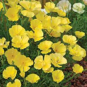 Californian poppies - just throw and sow