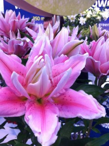Lovely double-flowered Oriental Lilies