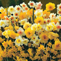 Daffodils - plant them now for the best blooms