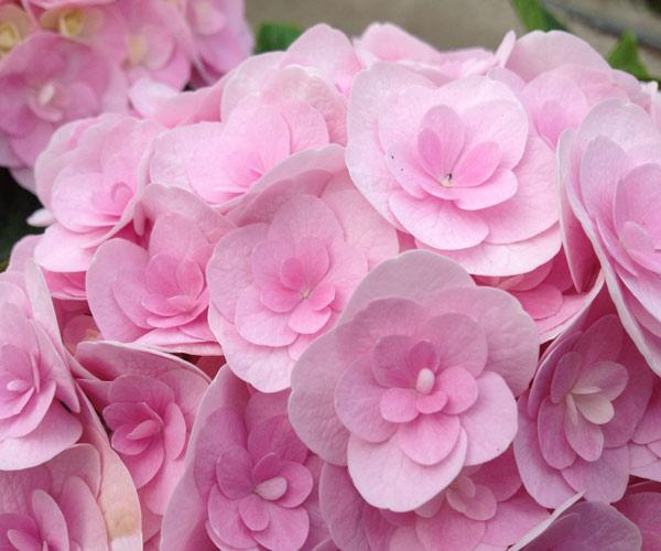 Hydrangea 'Love'