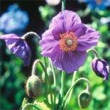 hensol-violet
