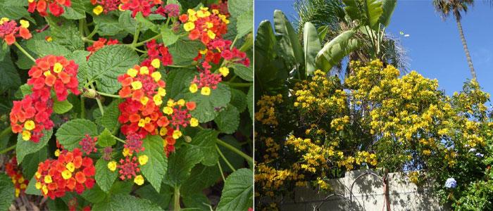 cassia - gardening in california