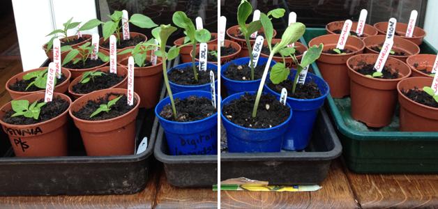 Seedlings in the sunroom