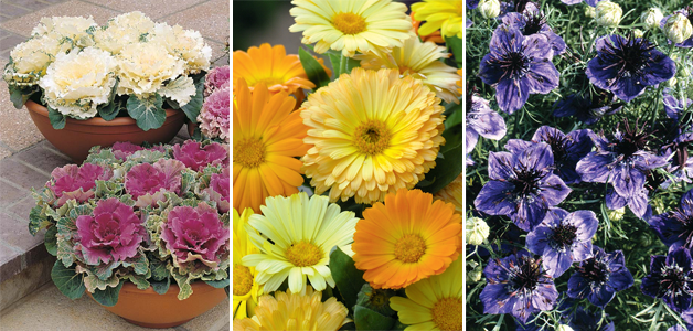 Cabbage 'Northern Lights', Calenduala officinalis nana 'Fruit Twist' & Nigella papillosa 'Midnight'