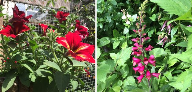 Petunia 'Mandevilla' & Digitalis 'Illumination Ruby Slippers'