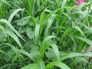 Sudangrass (with sunflower and sunn hemp).
