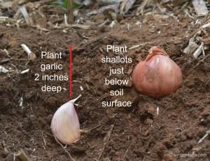 Planting depth for garlic & shallots